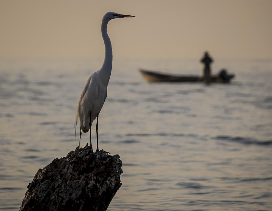 Birds Photograph - Egret And Boat by Dane Strom