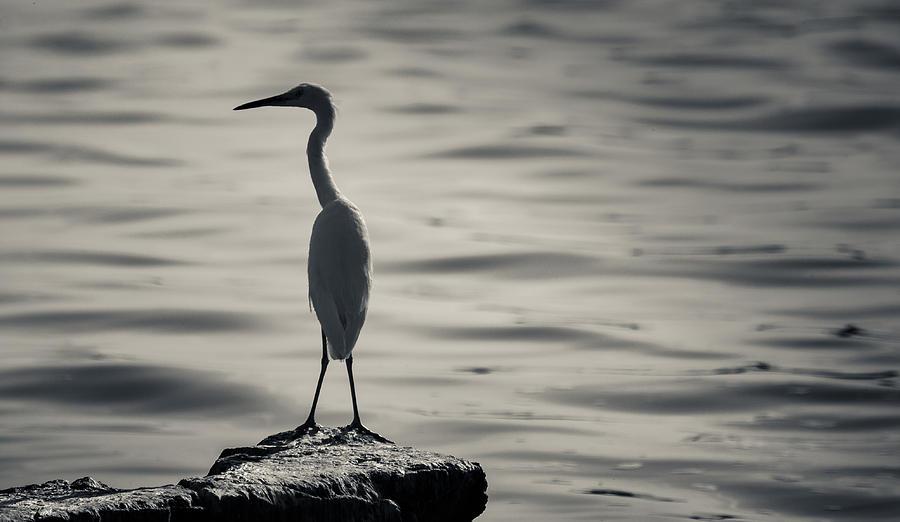 Birds Photograph - Egret At Lake Chapala by Dane Strom