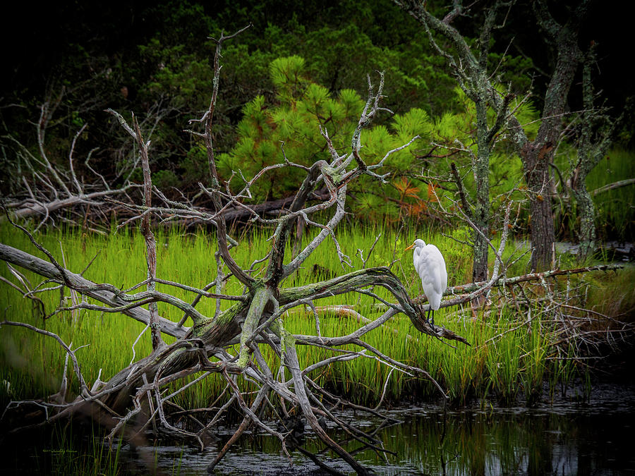 Egret at Pine Knoll 2 by Timothy Harris