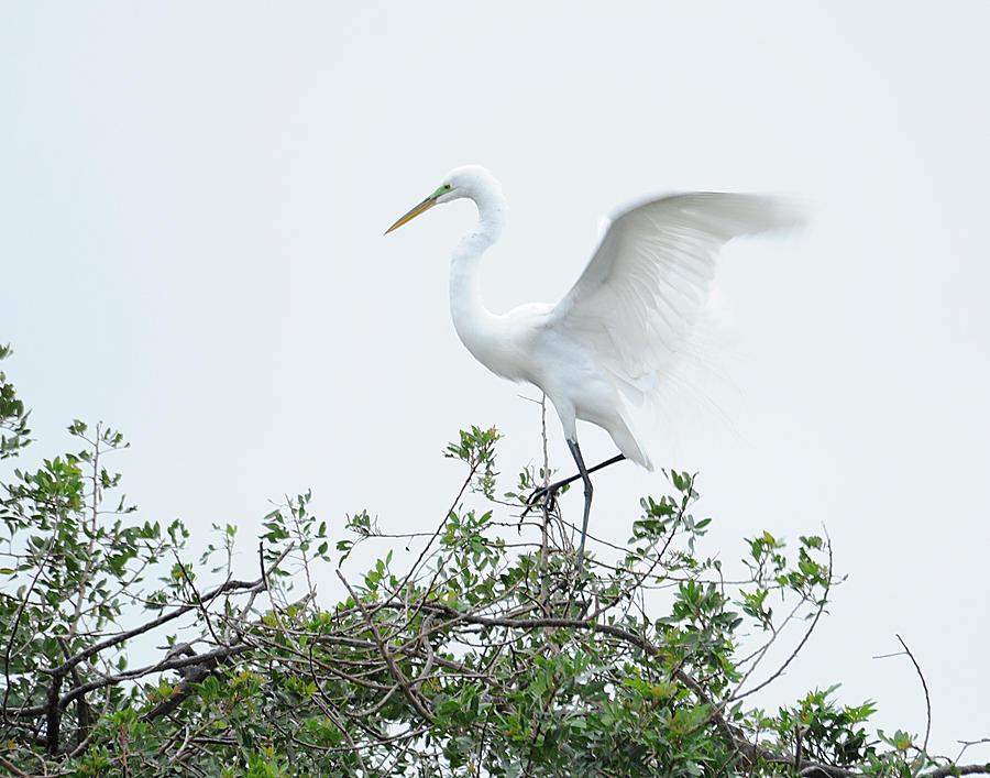 Egret Photograph - Egret Balance by Keith Lovejoy