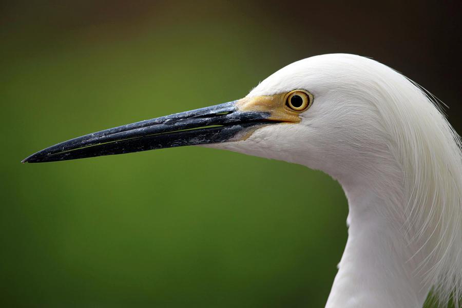 Egret Photograph - Egret Bird by Dan Pearce