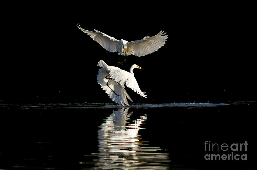 Action Photograph - Egret Dance by Emily Bristor