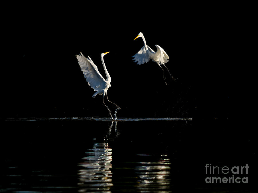 Action Photograph - Egret Dance II by Emily Bristor