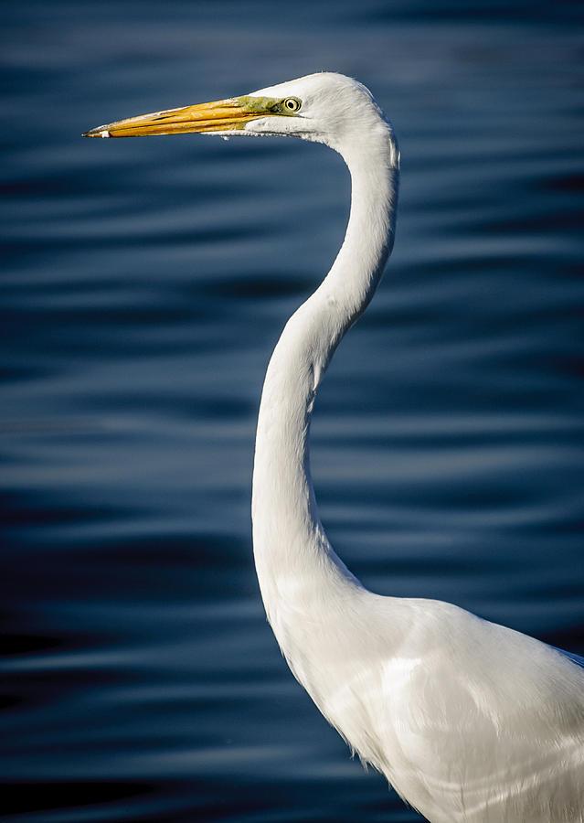 Birds Photograph - Egret by Dane Strom