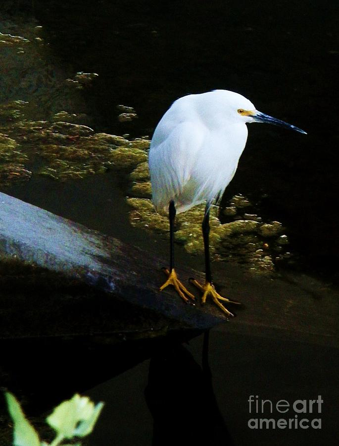 Egrets Photograph - Egret by Daniele Smith