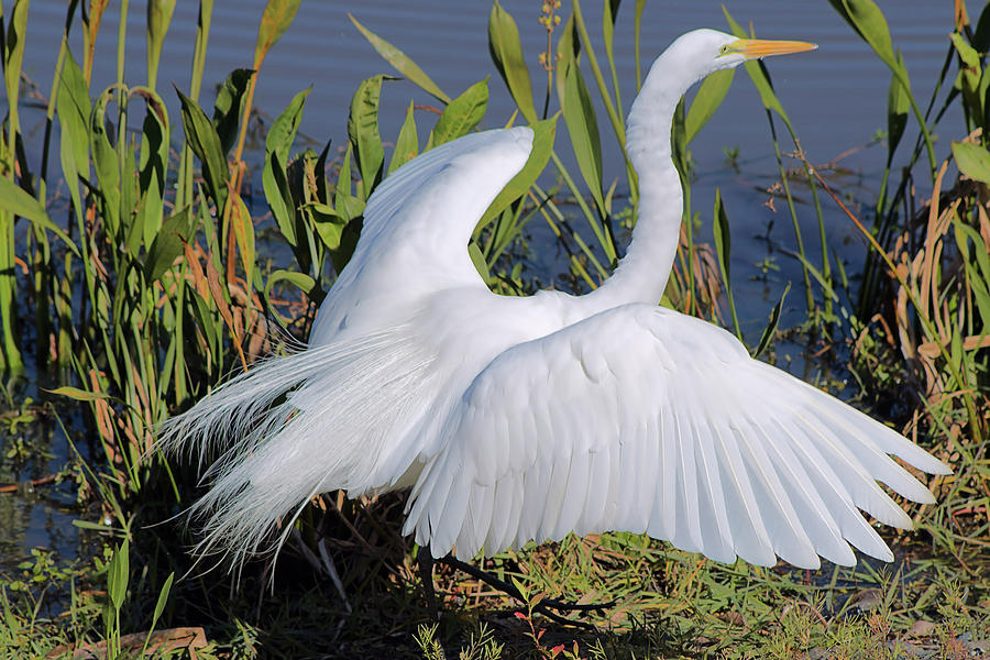 Great Egret Photograph - Egret Display by Karl Ford