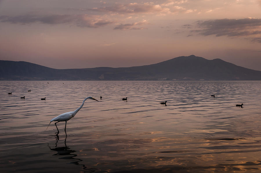 Birds Photograph - Egret Fishing In Lake At Sunset by Dane Strom