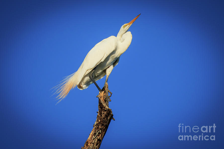 Egret in a Bare Tree by Richard Smith