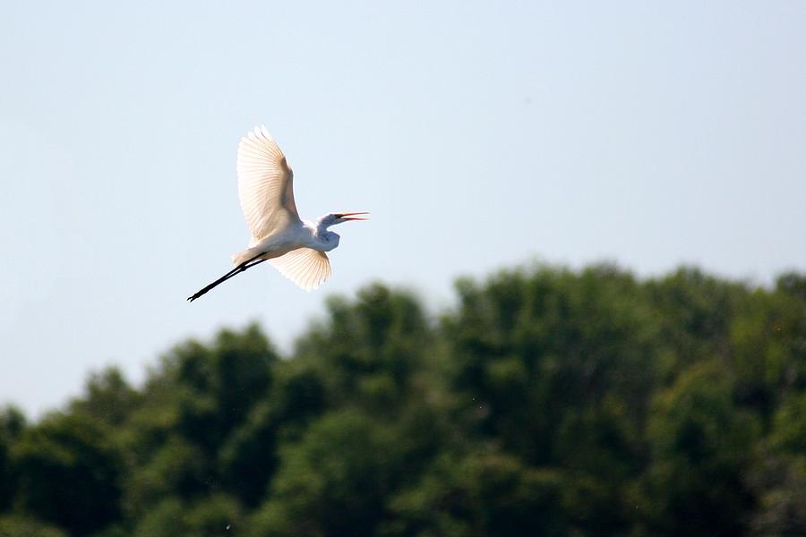 Bird Photograph - Egret In Flight by David Dunham