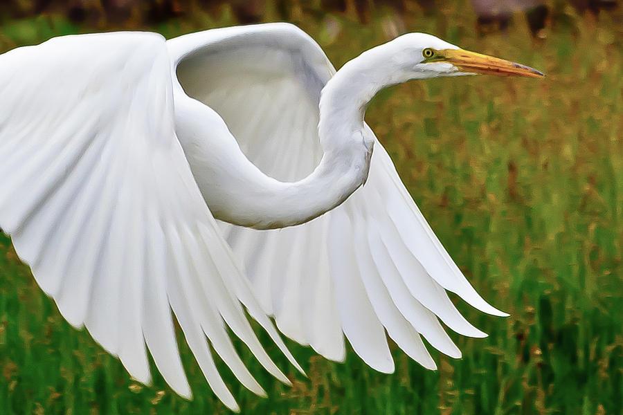 Egret in Flight by Kenneth F Konjevich
