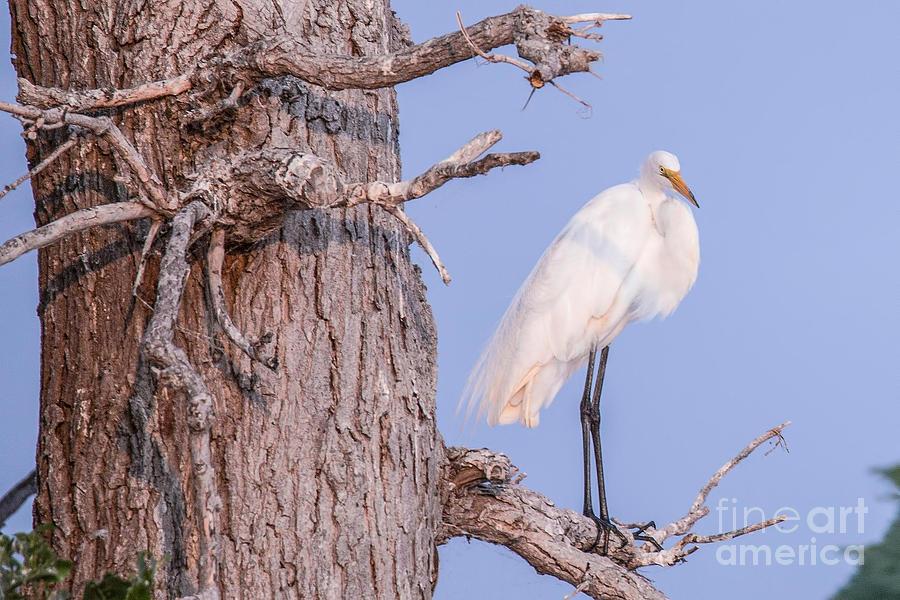 Egret Photograph - Egret In Tree by Nikki Vig