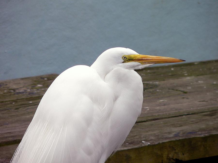 Great Egret Photograph - Egret On The Dock by Al Powell Photography USA