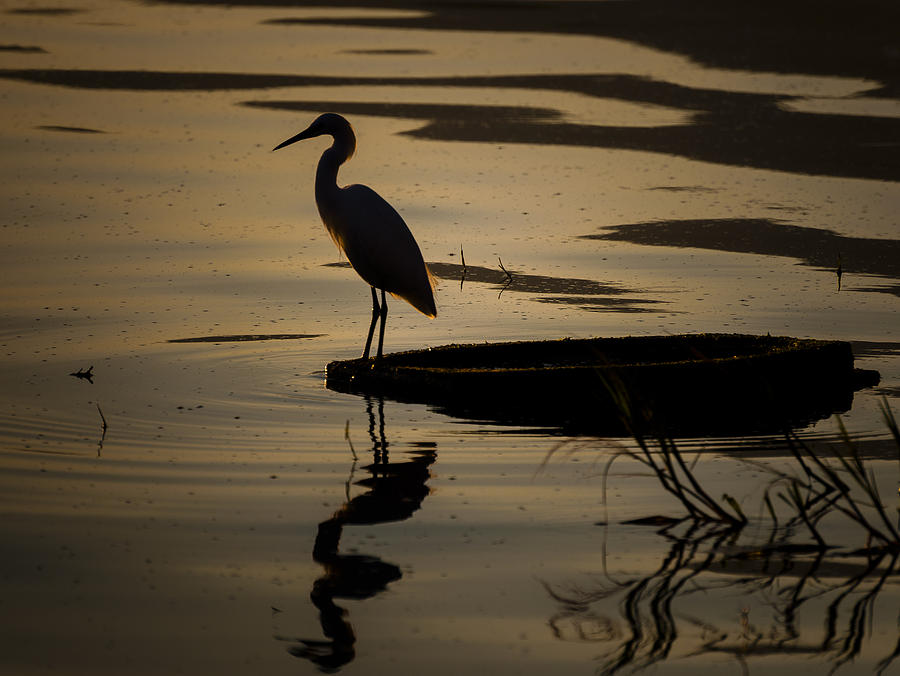 Birds Photograph - Egret On The Lake by Dane Strom