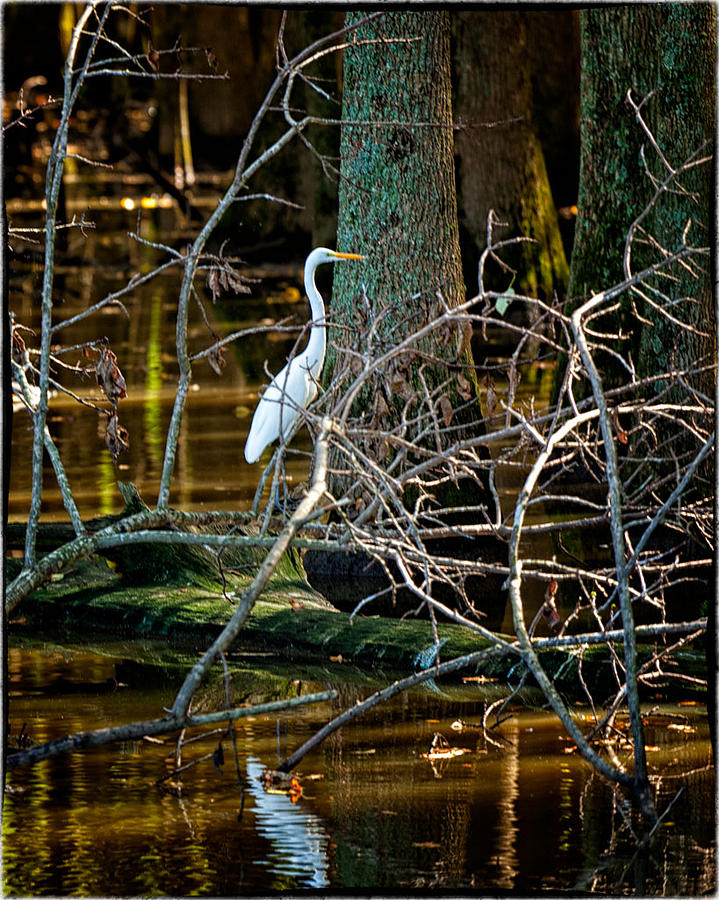 Great Egret On Prowl >> Egret On The Prowl Photograph By Arthur Guertin