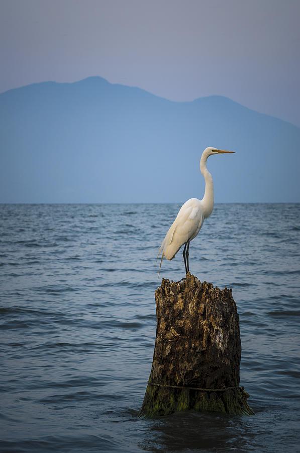 Birds Photograph - Egret On Tree Stump At Lake Chapala by Dane Strom