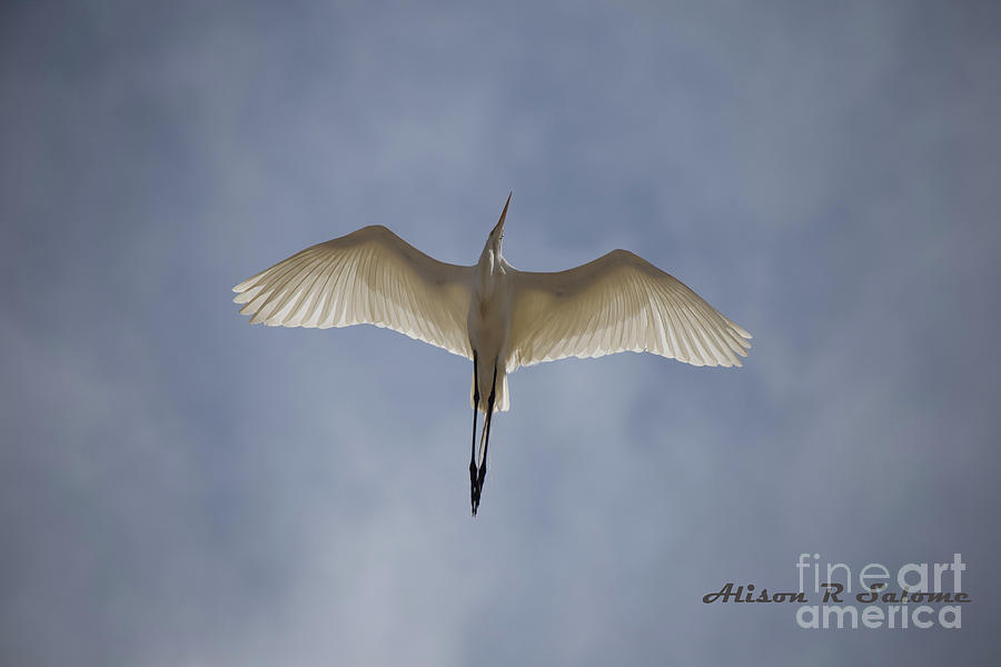 Egret Overhead by Alison Salome