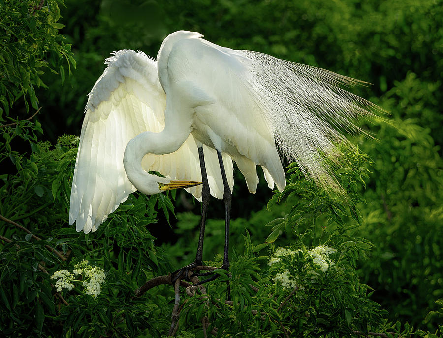 Egret Preening by Steve Zimic