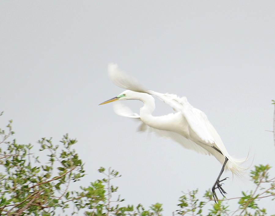 Egret Photograph - Egret-taking Flight by Keith Lovejoy