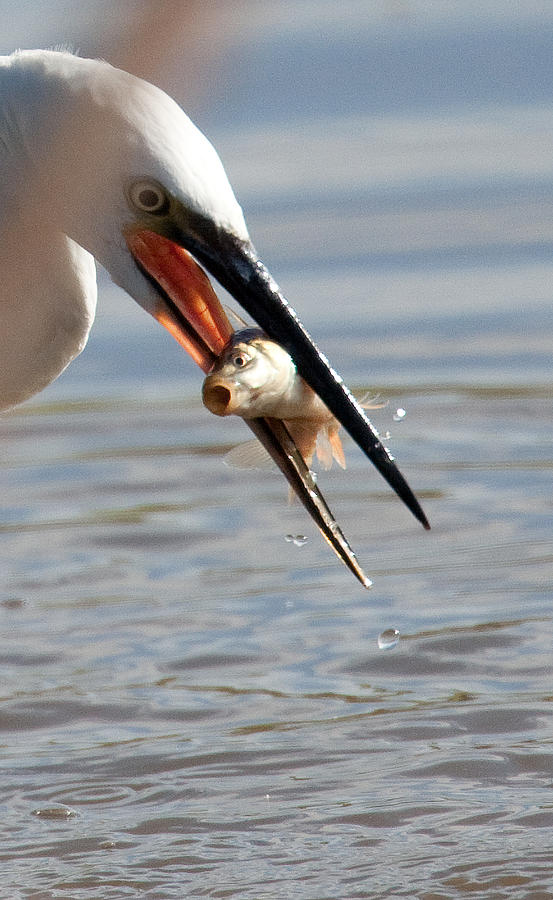 Egret Photograph - Egret With Fish by Bob Kemp
