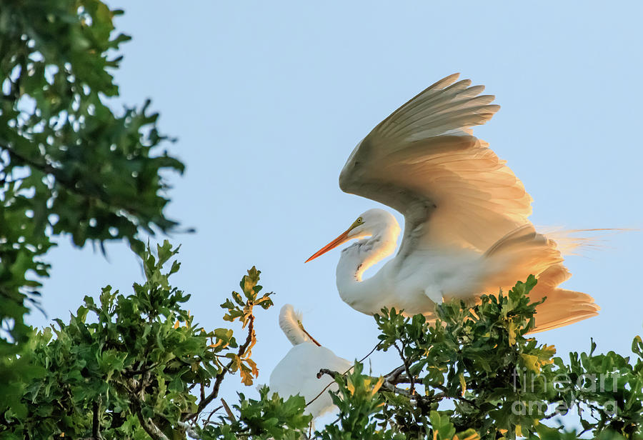 Egrets at last Light #1 by Richard Smith