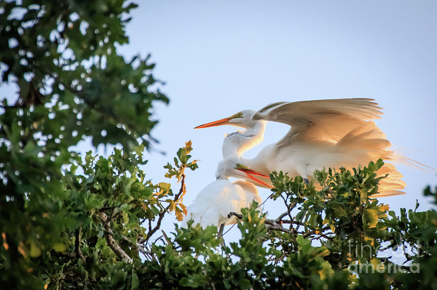 Egrets at last Light #3 by Richard Smith