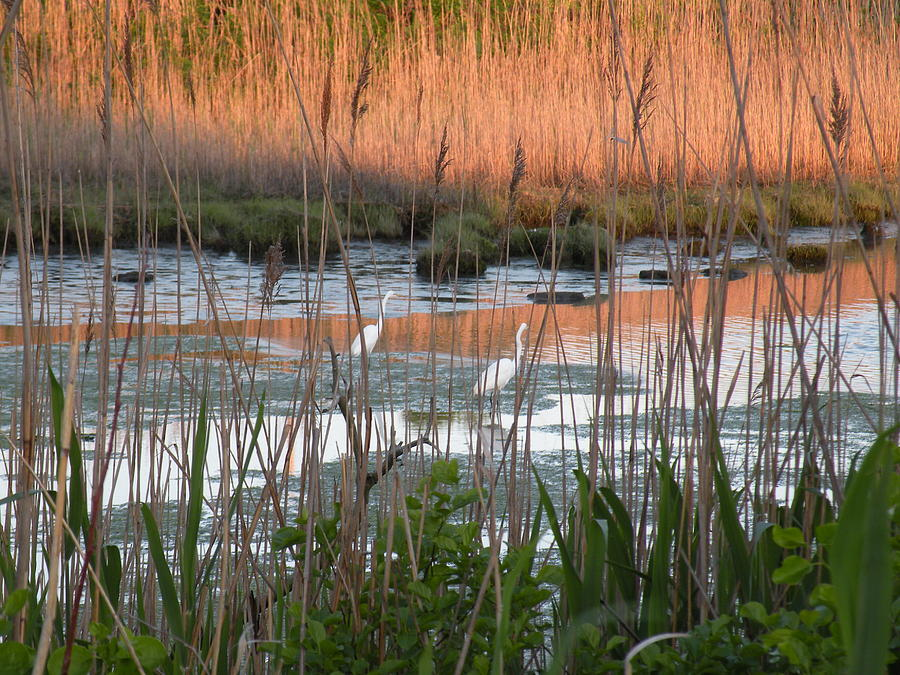 Birds Photograph - Egrets At Sunrise by Donald Cameron