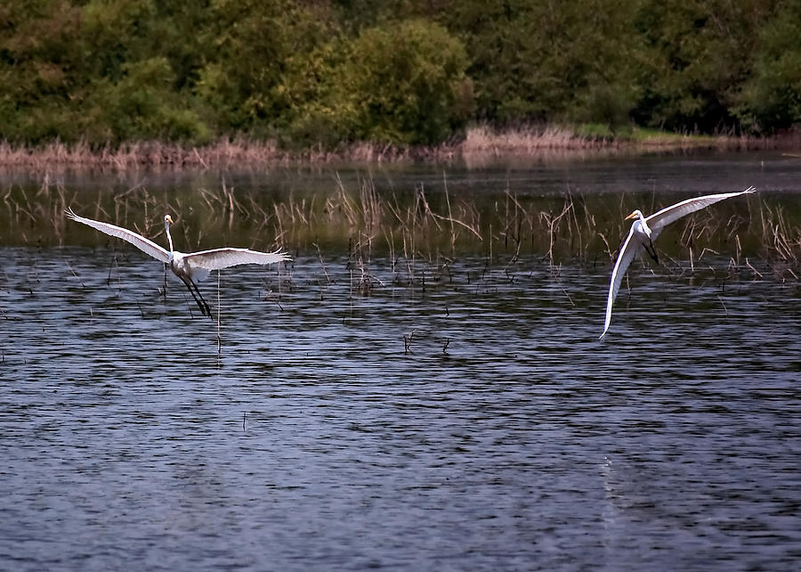 Egrets Photograph - Egrets IIi by Gary Adkins