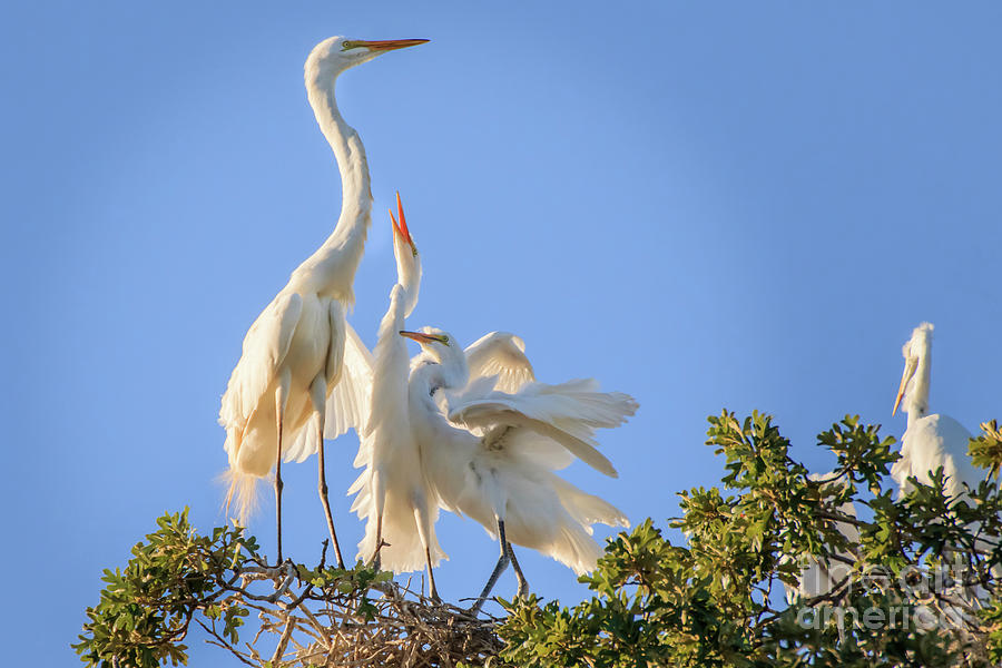 Egrets in the Trees #2 by Richard Smith