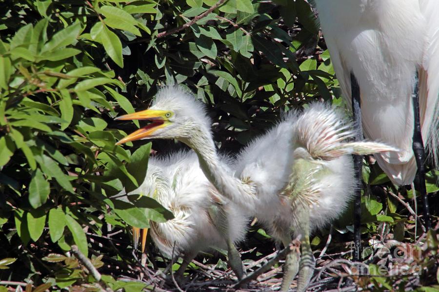 Egrets Nest Photograph