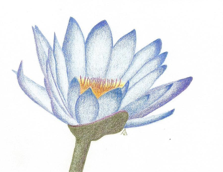 Egyptian Blue Lotus Drawing By Ann Brantingham