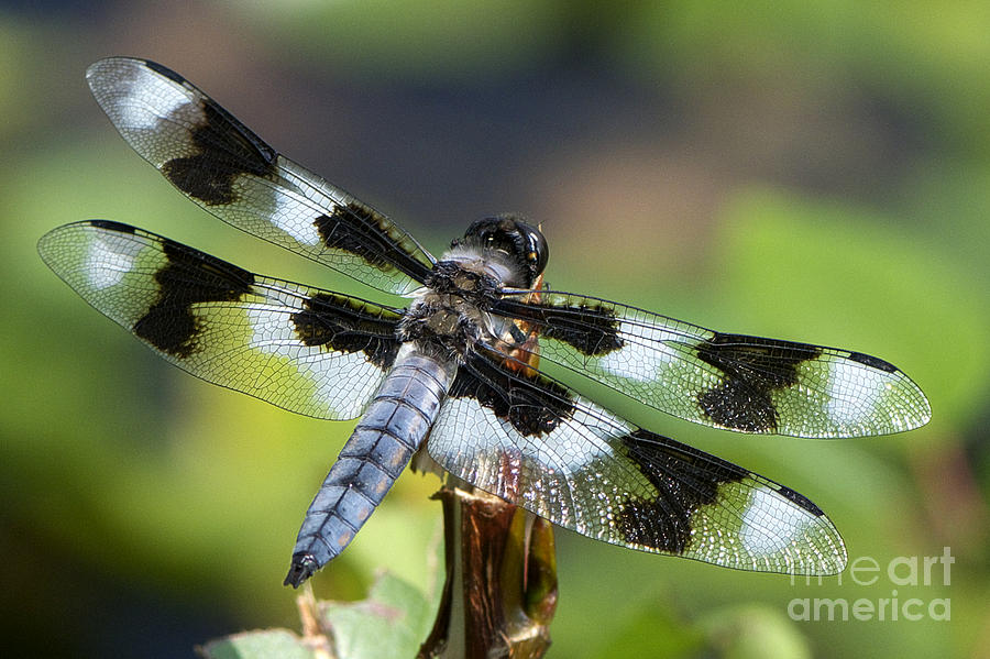 Eight-spotted Skimmer Photograph - Eight-spotted Skimmer  by Sharon Talson