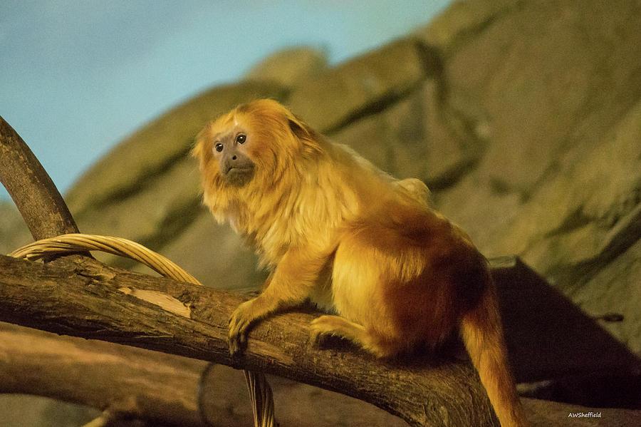 Zoo Photograph - El Paso Zoo - Golden Lion Tamarin by Allen Sheffield