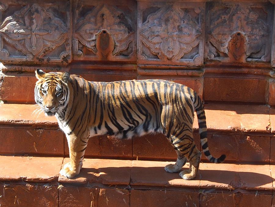 Animal Photograph - El Tigre by Kelly Kinder
