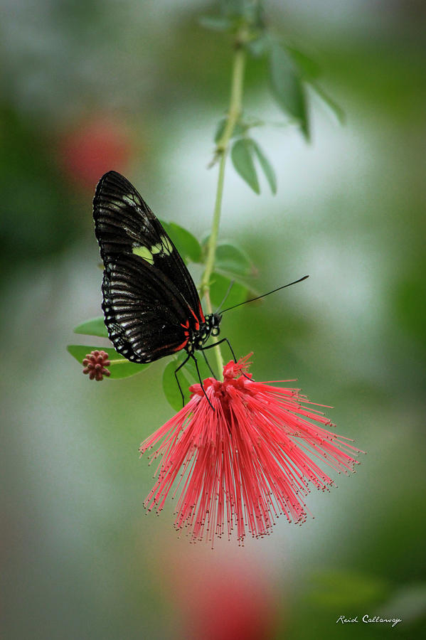Paper Kite Butterfly Photograph - Elegance Cecil B Day Butterfly Center Art by Reid Callaway