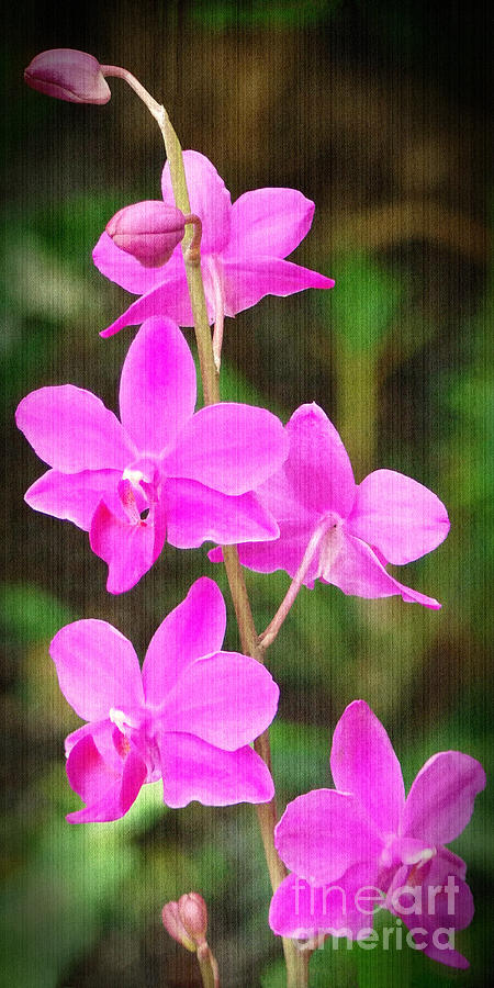 Orchid Photograph - Elegance In Nature by Sue Melvin