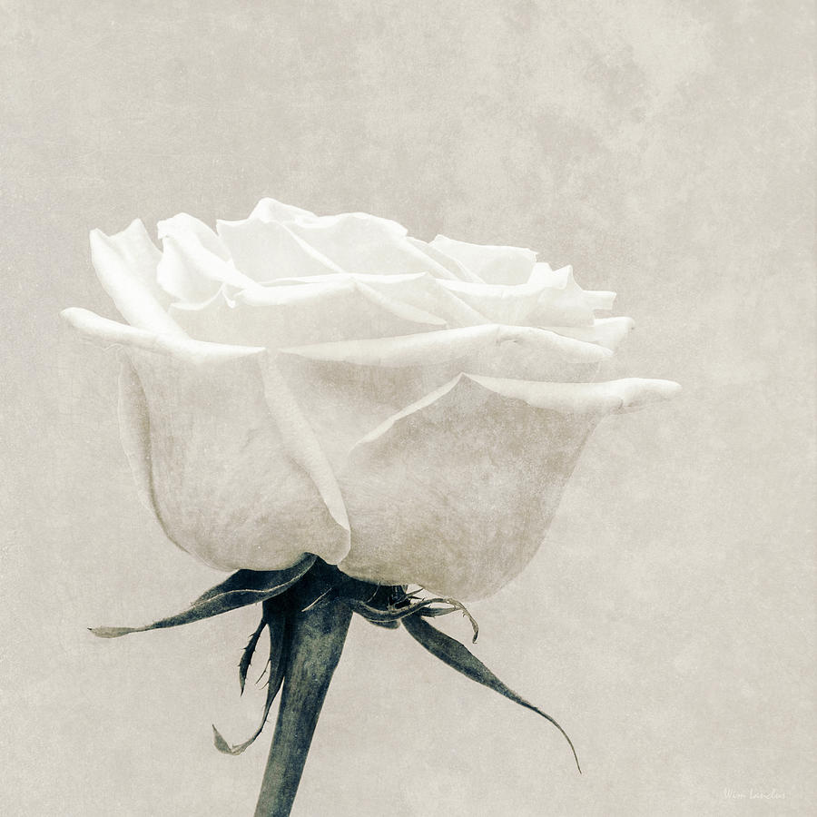 White Photograph - Elegance In White by Wim Lanclus