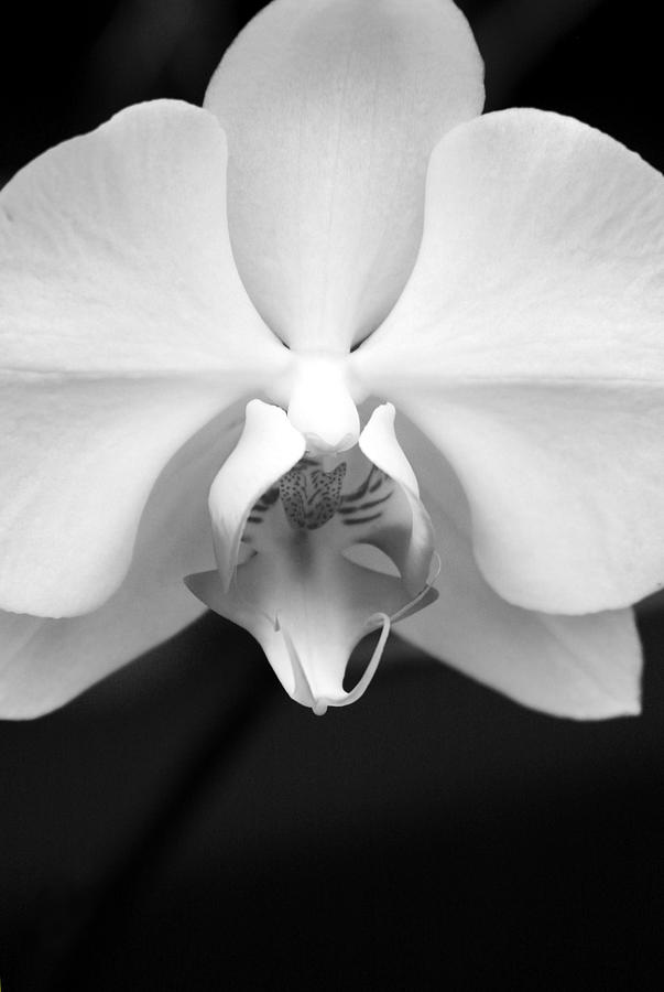 Orchid Photograph - Elegance by Sally Engdahl