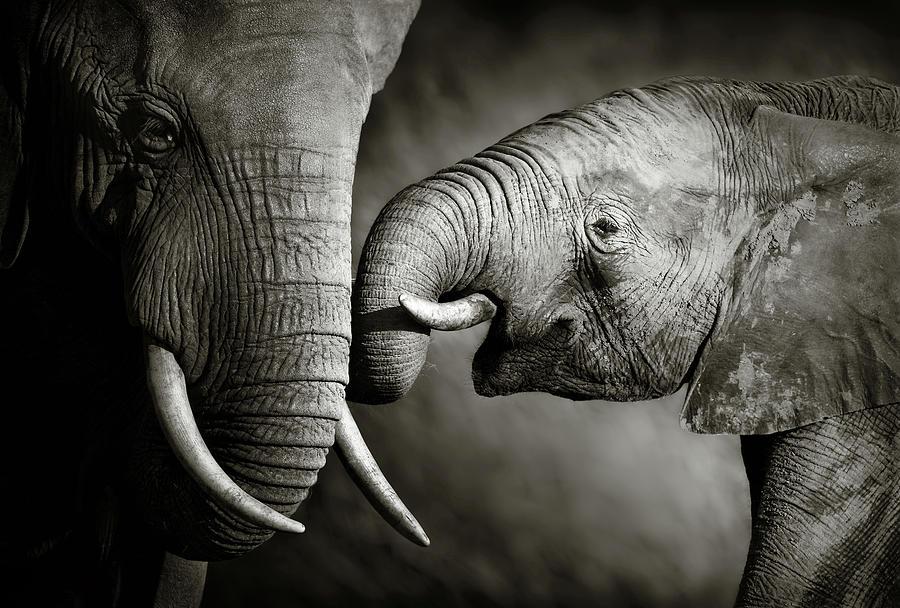 Elephant Affection Photograph