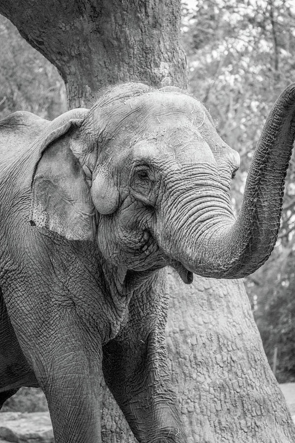 Elephant Photograph - Elephant And Tree Trunk Black And White by Steven Jones