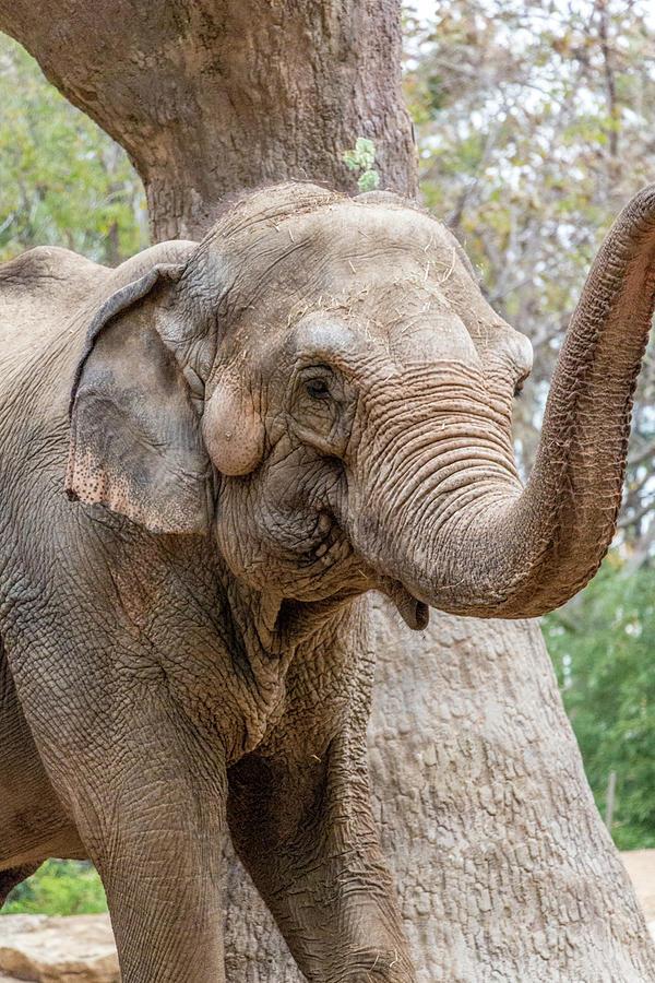 Elephant Photograph - Elephant And Tree Trunk by Steven Jones