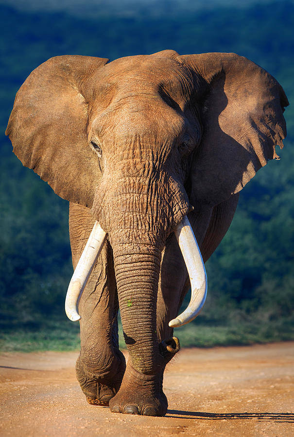 Elephant Approaching Photograph
