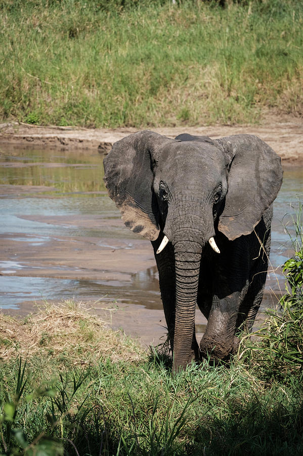 Africa Photograph - Elephant At The River by Mary Lee Dereske