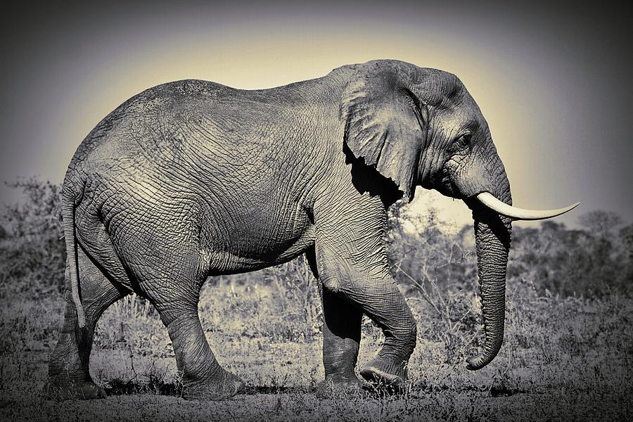 Elephant Bull Tusker Side View Photograph By Jan Van Der