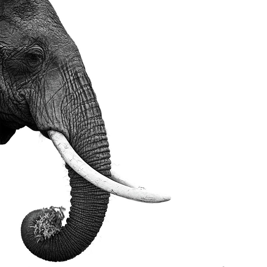 Square Photograph - Elephant by Daniel Pupius