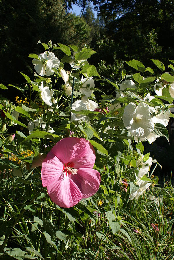 Elephant Ear Hibiscus One Pink Among A Bush Of White Photograph