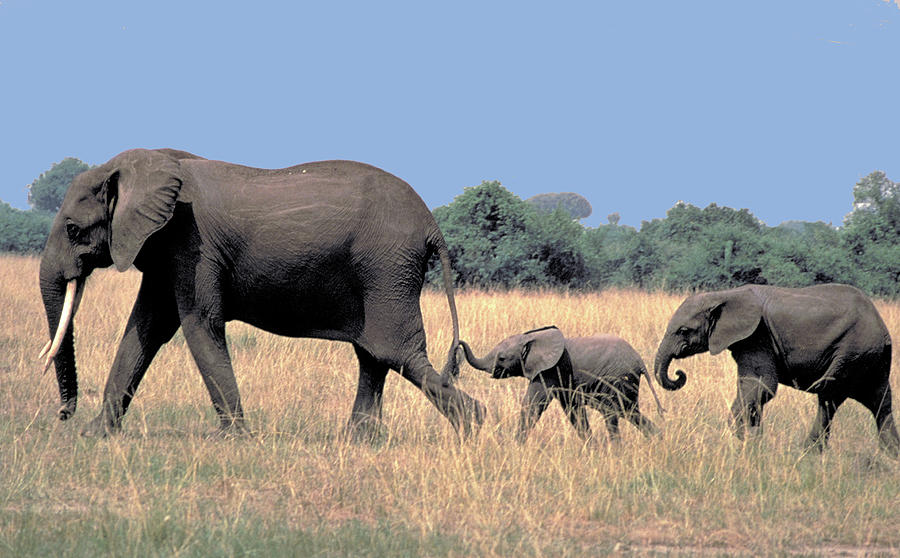 Elephant Photograph - Elephant Family by Carl Purcell