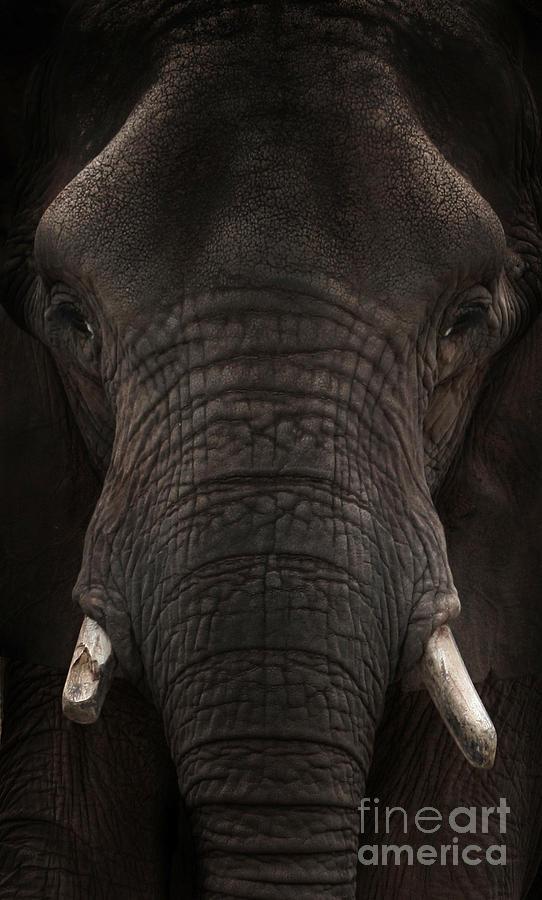Elephant Photograph - Elephant by Lynn Jackson