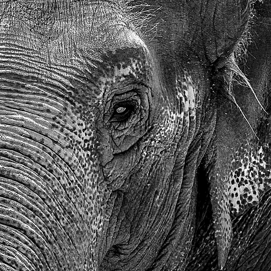 Group Of Grayscale Elephants Baby