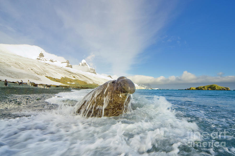 Elephant Seal in the Surf Photograph by Yva Momatiuk and John Eastcott