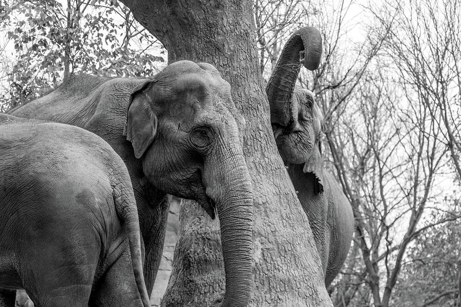 Elephant Photograph - Elephant Tree Black And White  by Steven Jones